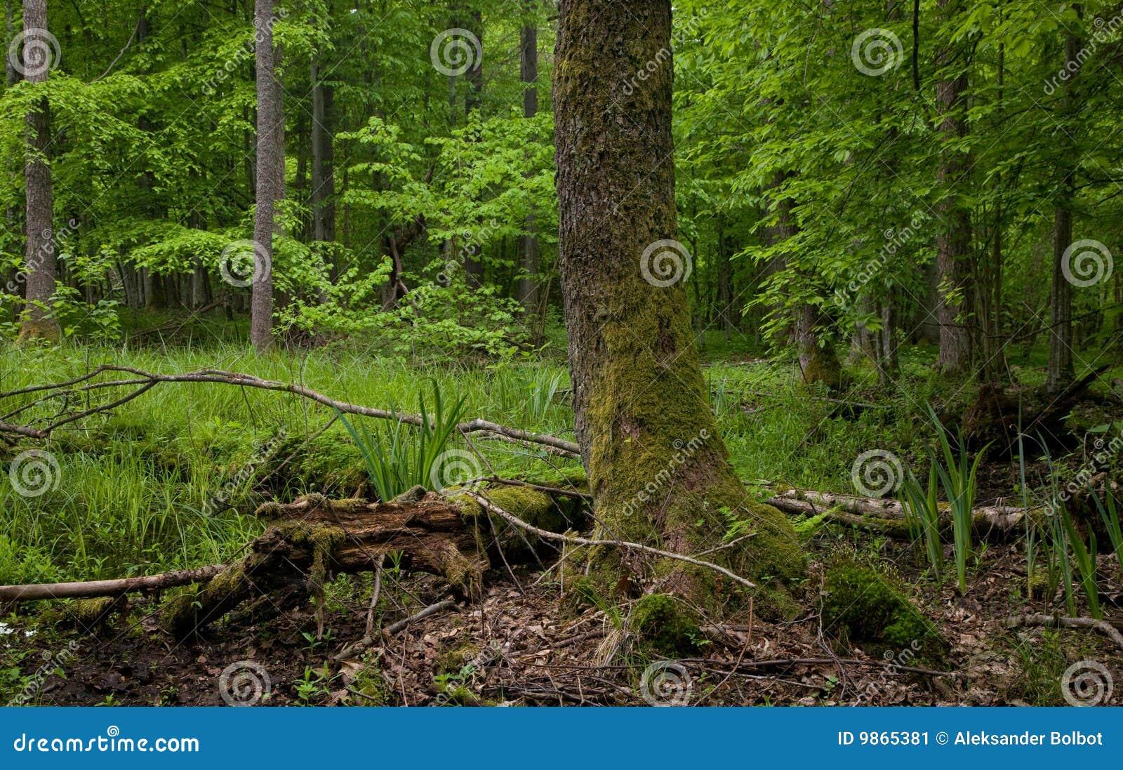 Molhe o carrinho da floresta de Bialowieza com árvore de amieiro