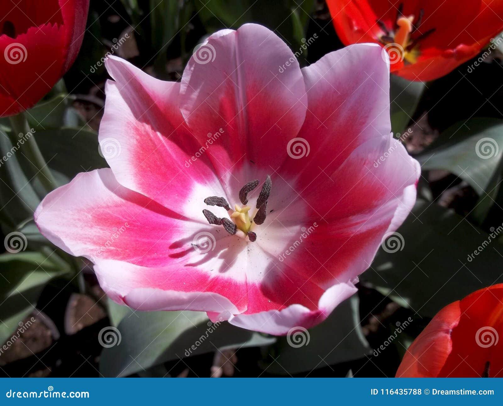 Fiori Bianchi Con Centro Nero.Molla Morbida Del Grande Fiore Rosa Mistica Fotografia Stock