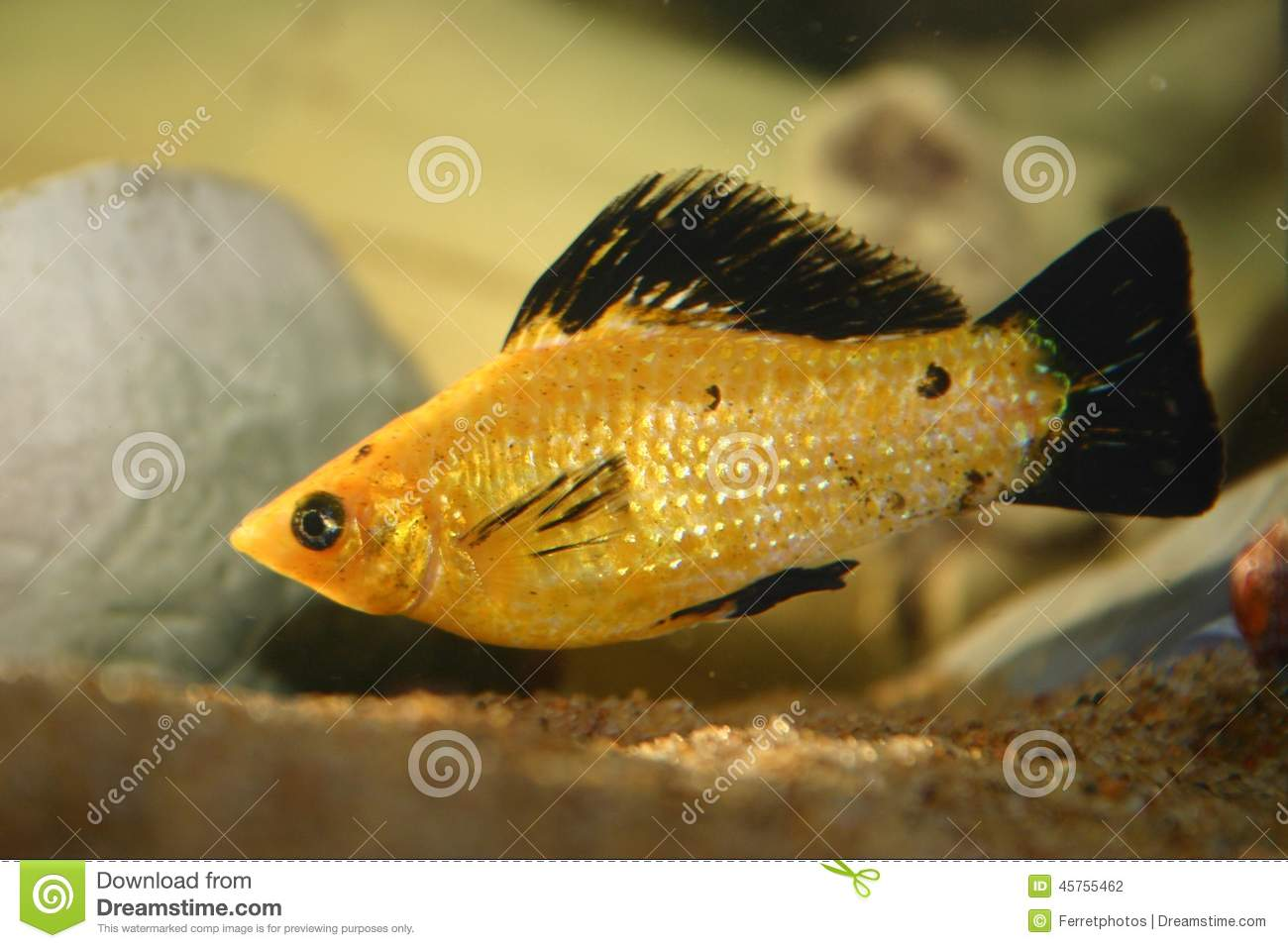 Apologise, male and female molly fish that interfere