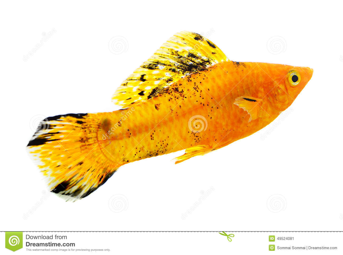 Molly fish on white background