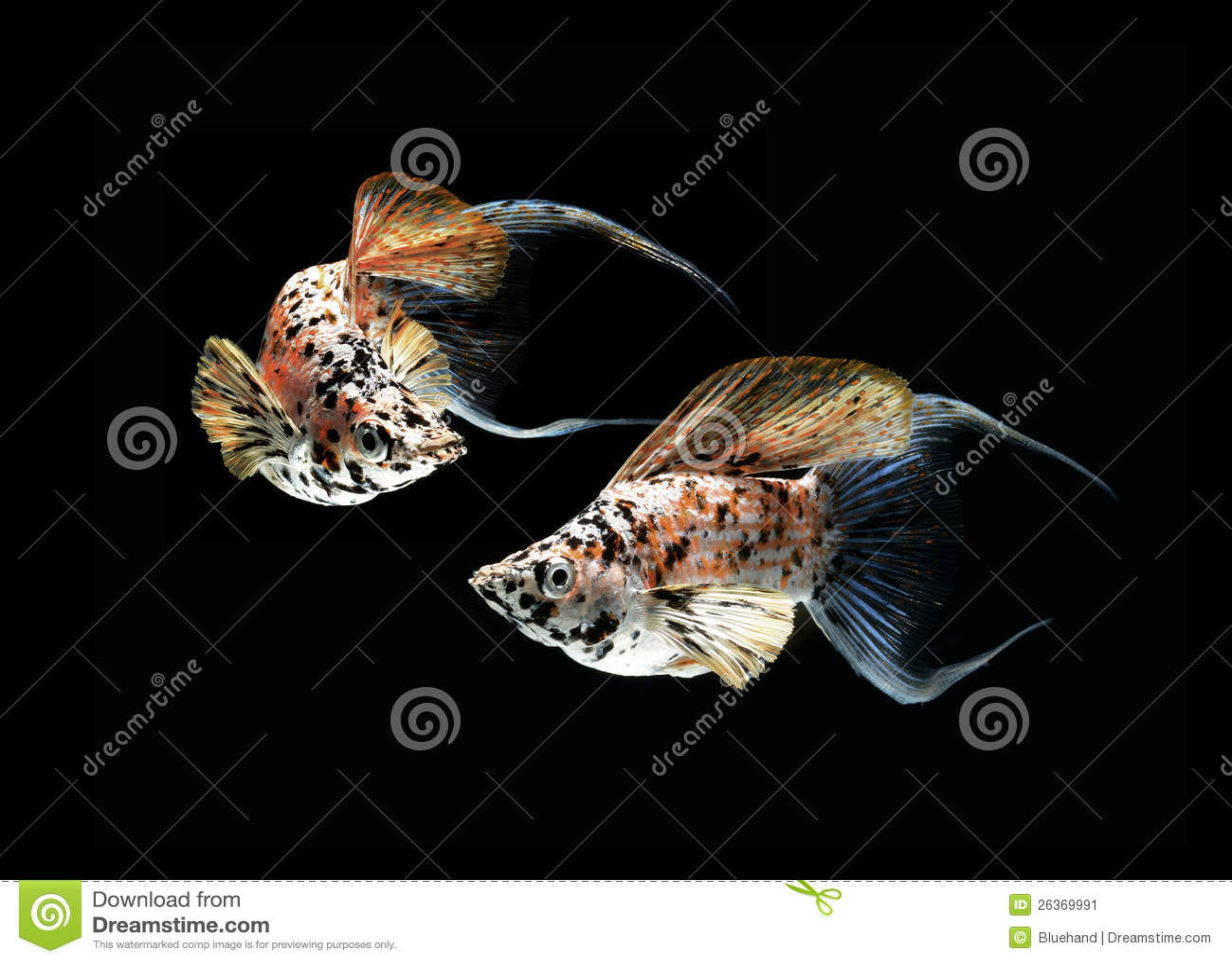 Mollyfischhalbmond angebunden auf Schwarzrückseite
