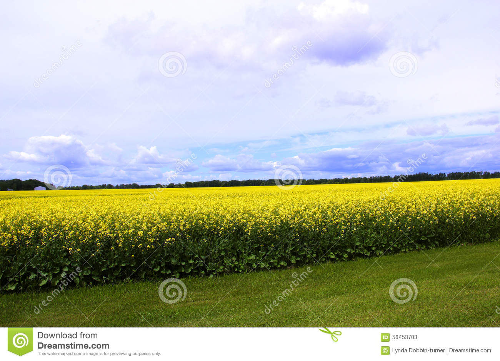 Molniga blåa himlar över fält av Manitoba Canola
