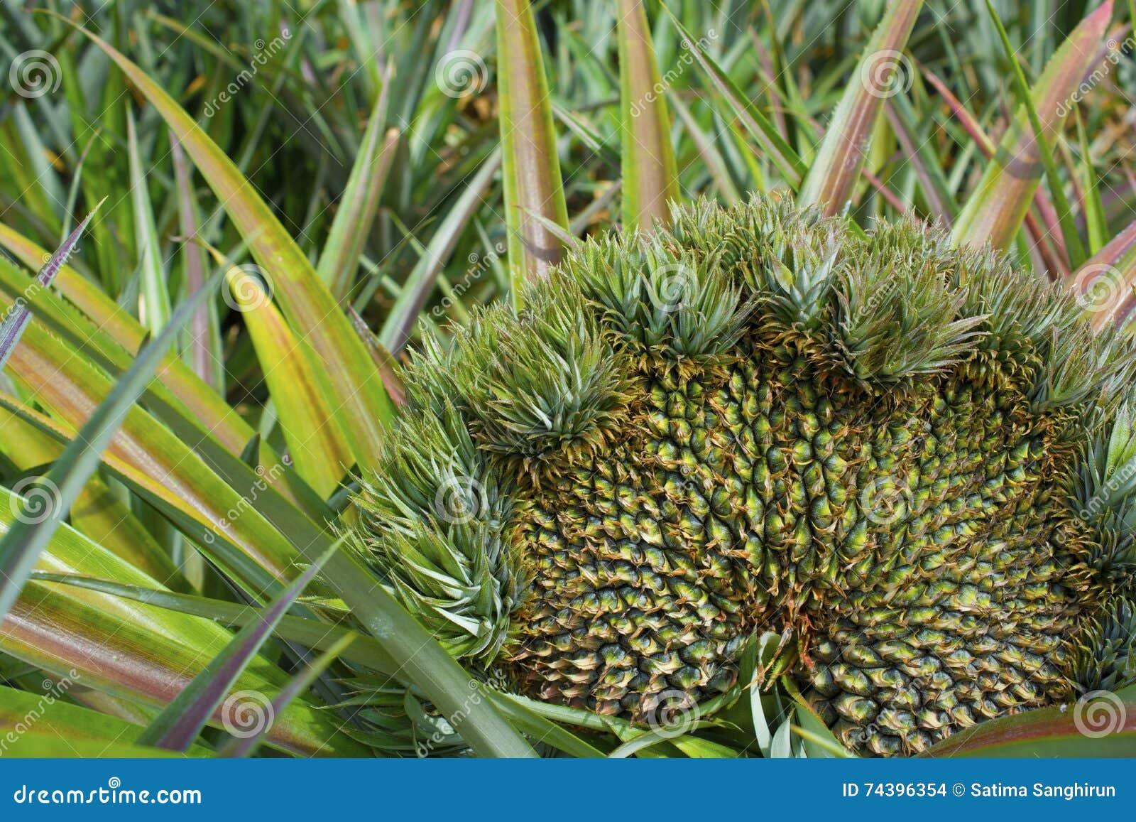 Molte teste dell 39 ananas in una pianta fotografia stock for Pianta ananas