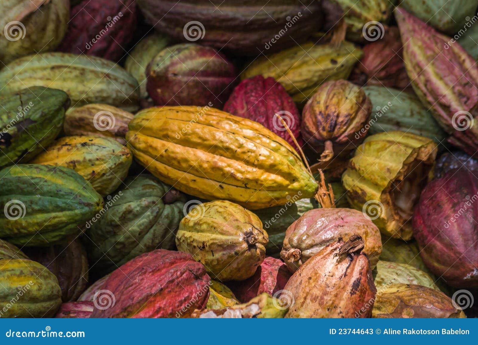 Molti baccelli del cacao