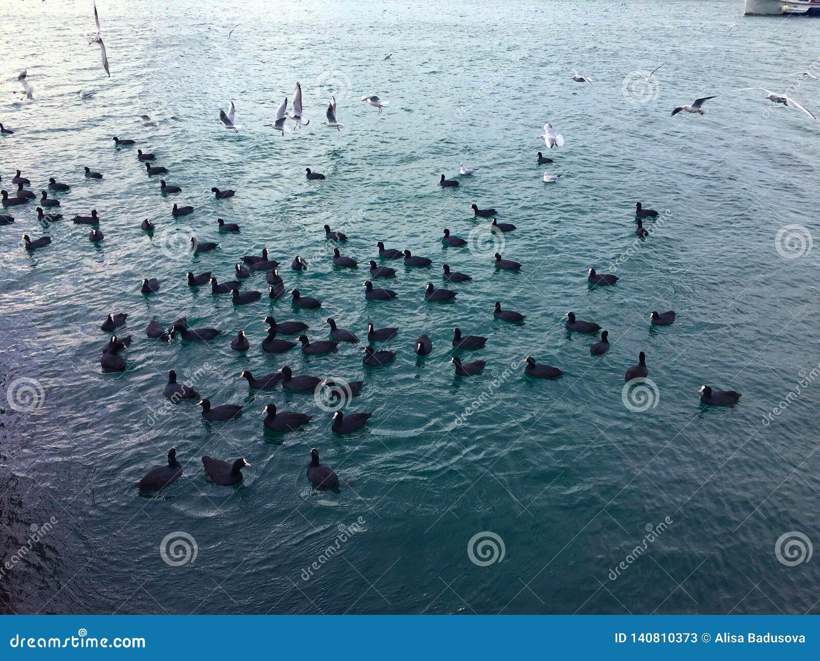 Molti cigni nel lago una moltitudine di cigni che rimescolano sopra l alimento su un fiume Nei genitori del cigno dei cigni del l