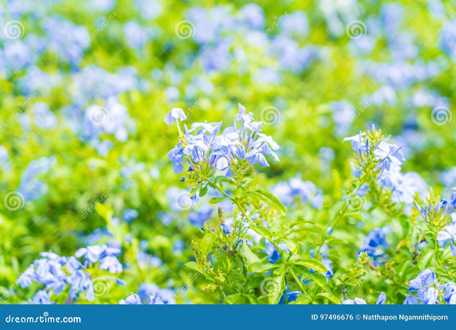 Molti fiori blu dell ortensia nel giardino