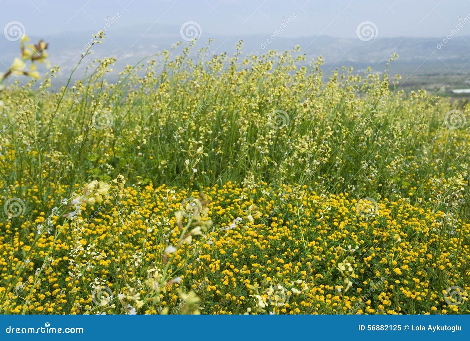 Molti fiori selvaggi gialli sul campo