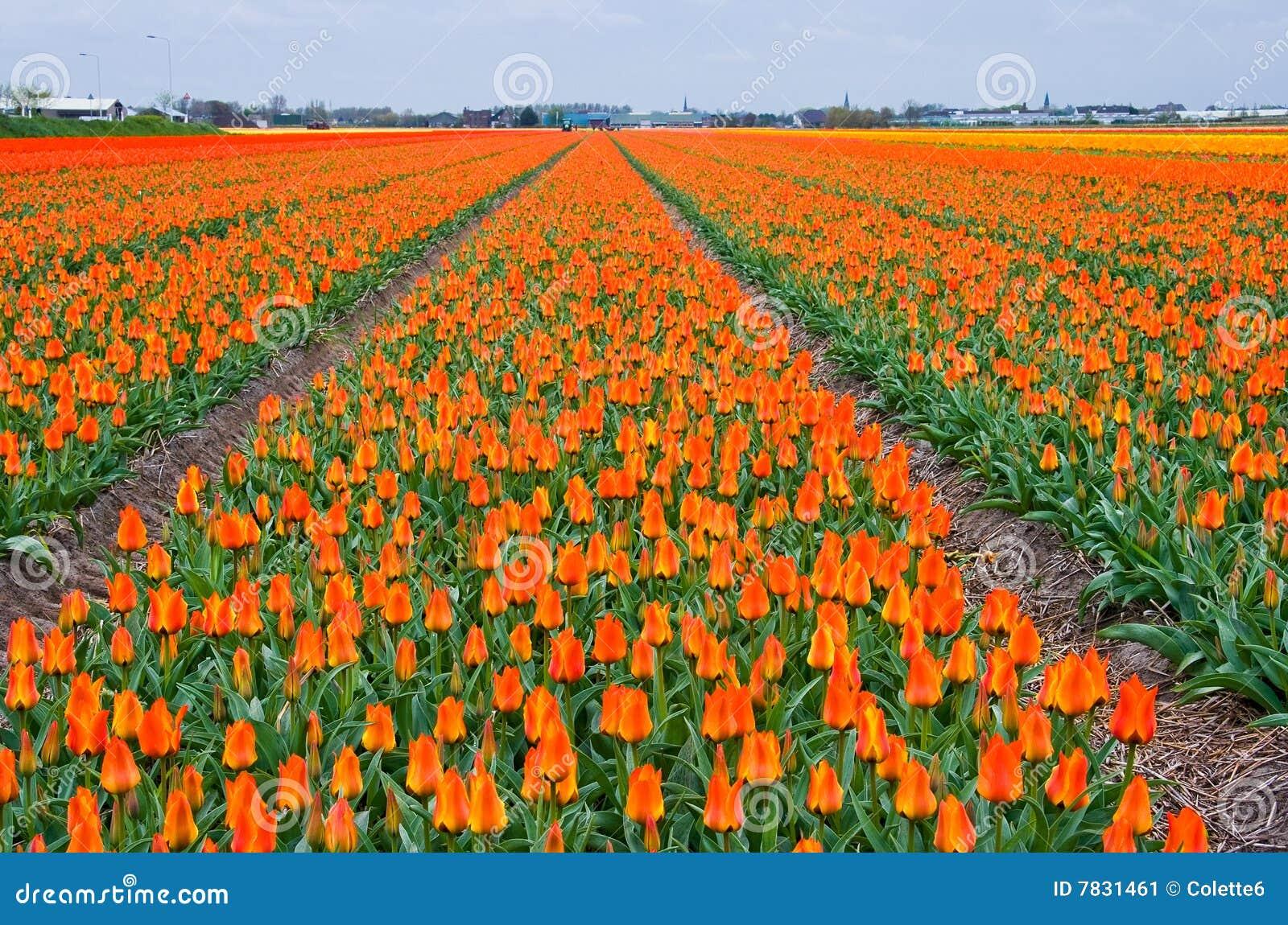 Molti tulipani arancioni immagine stock immagine 7831461 for Tulipani arancioni