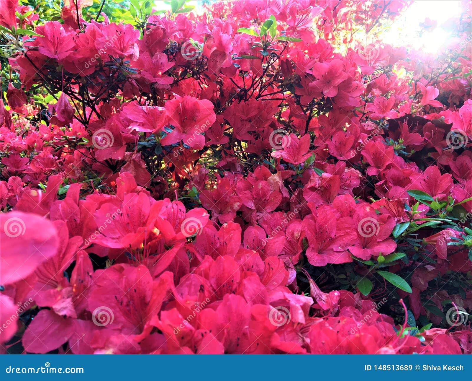 Moltitude de flores rosadas, de la primavera, de la luz brillante, del cuento de hadas y de la belleza