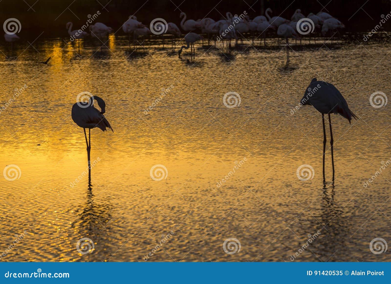 Moltitudine di fenicotteri al tramonto nel Camargue, Francia