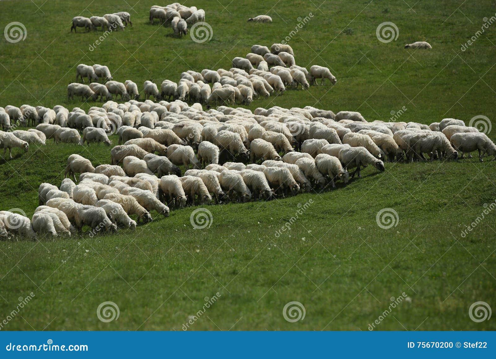 Moltitudine di pecore che pascono