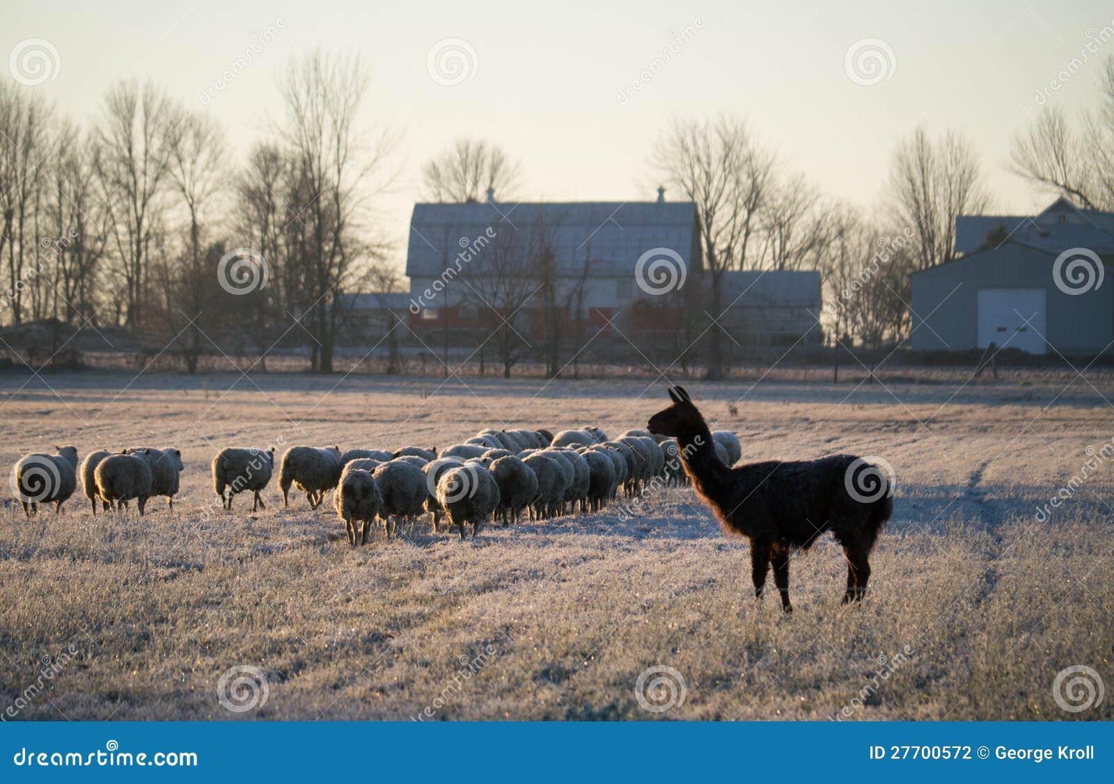 Moltitudine di pecore e di lama