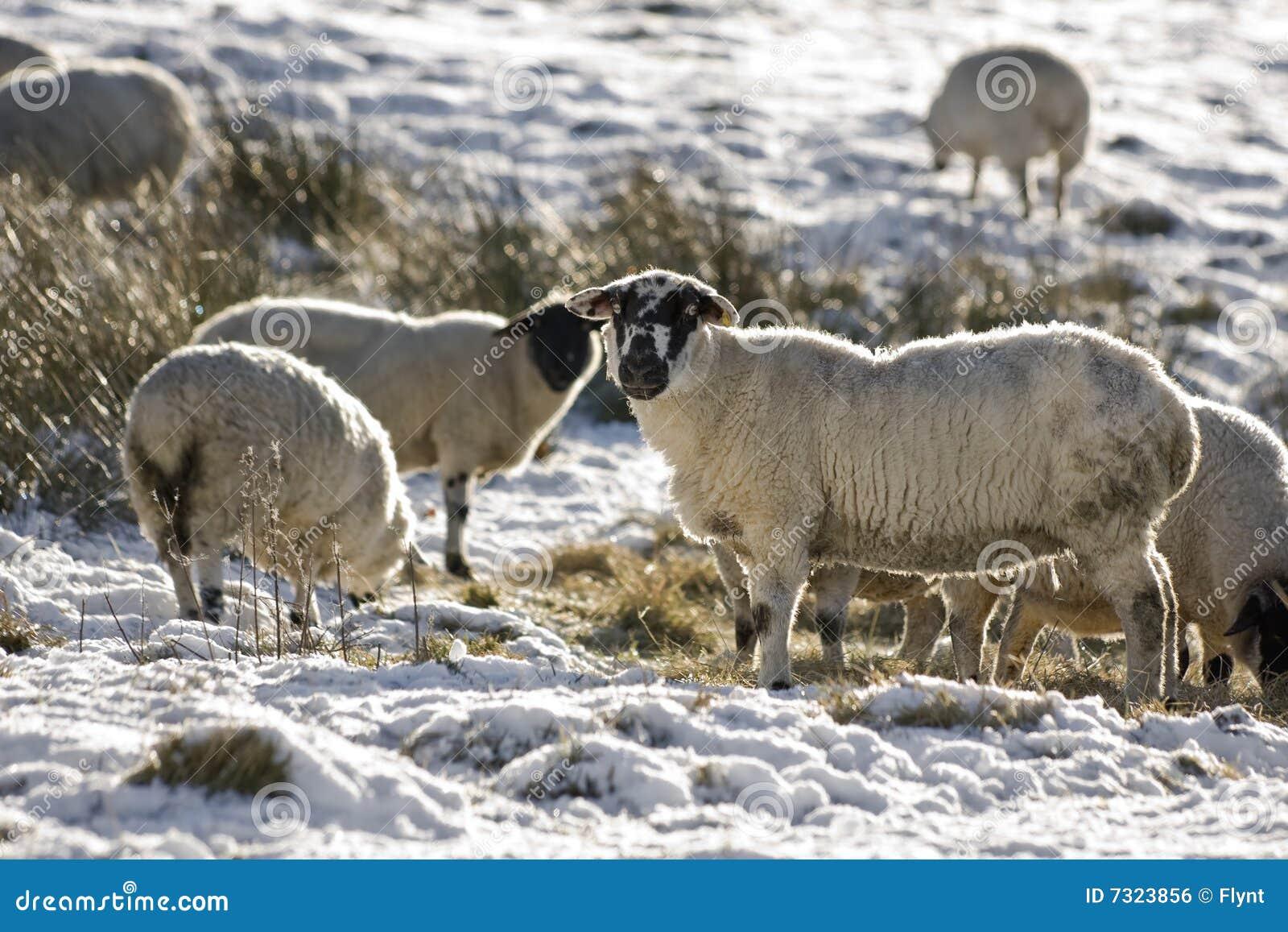 Moltitudine di pecore in inverno