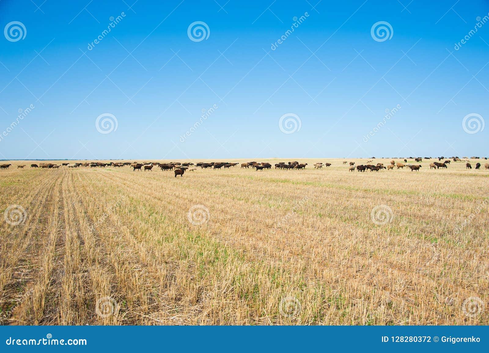 Moltitudine di pecore sul prato