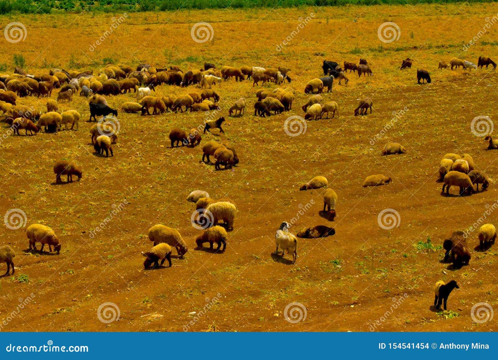 Moltitudine di pecore, vicino a Rayak, Bekaa Valley Libano