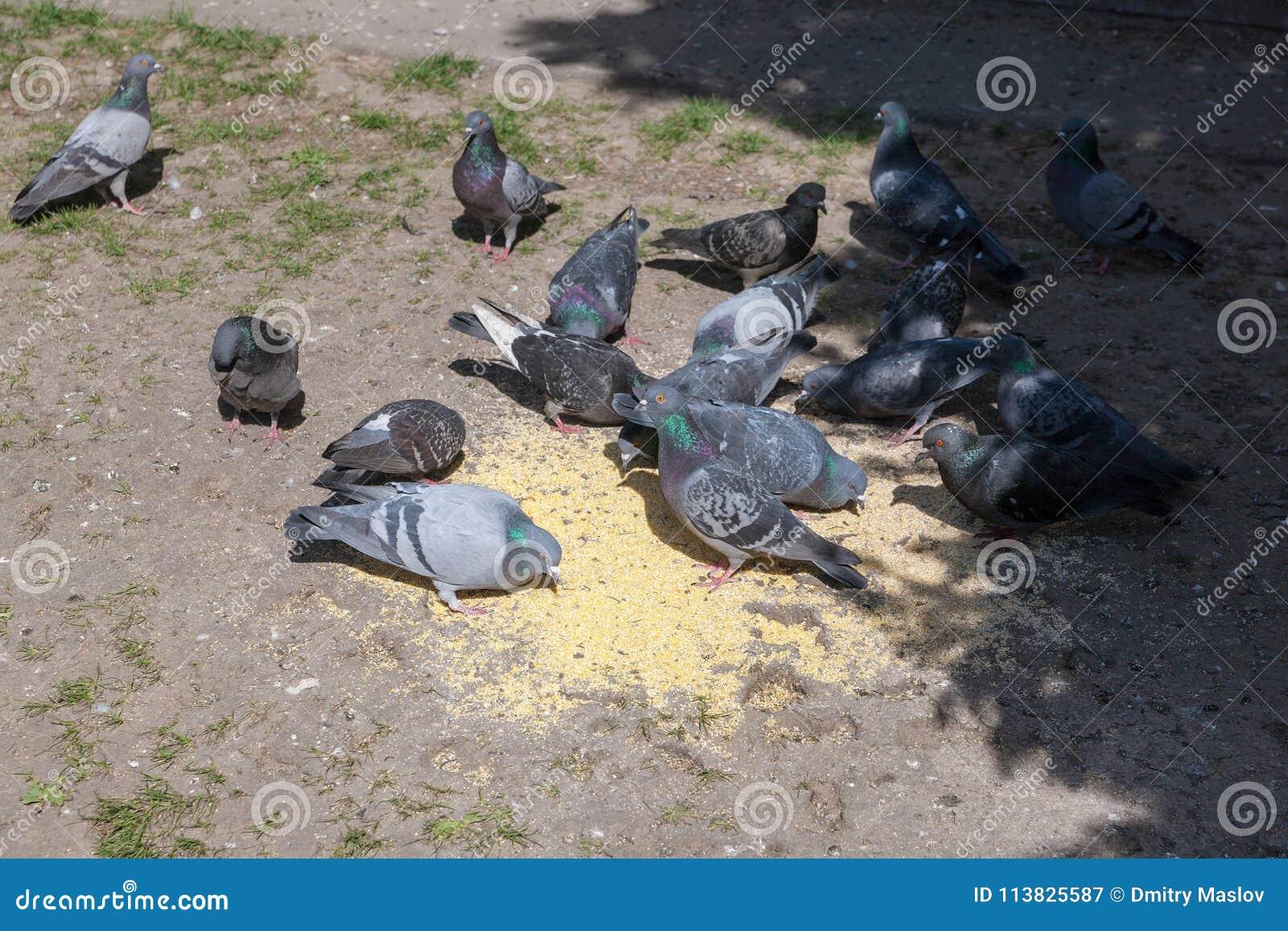 Moltitudine di piccioni