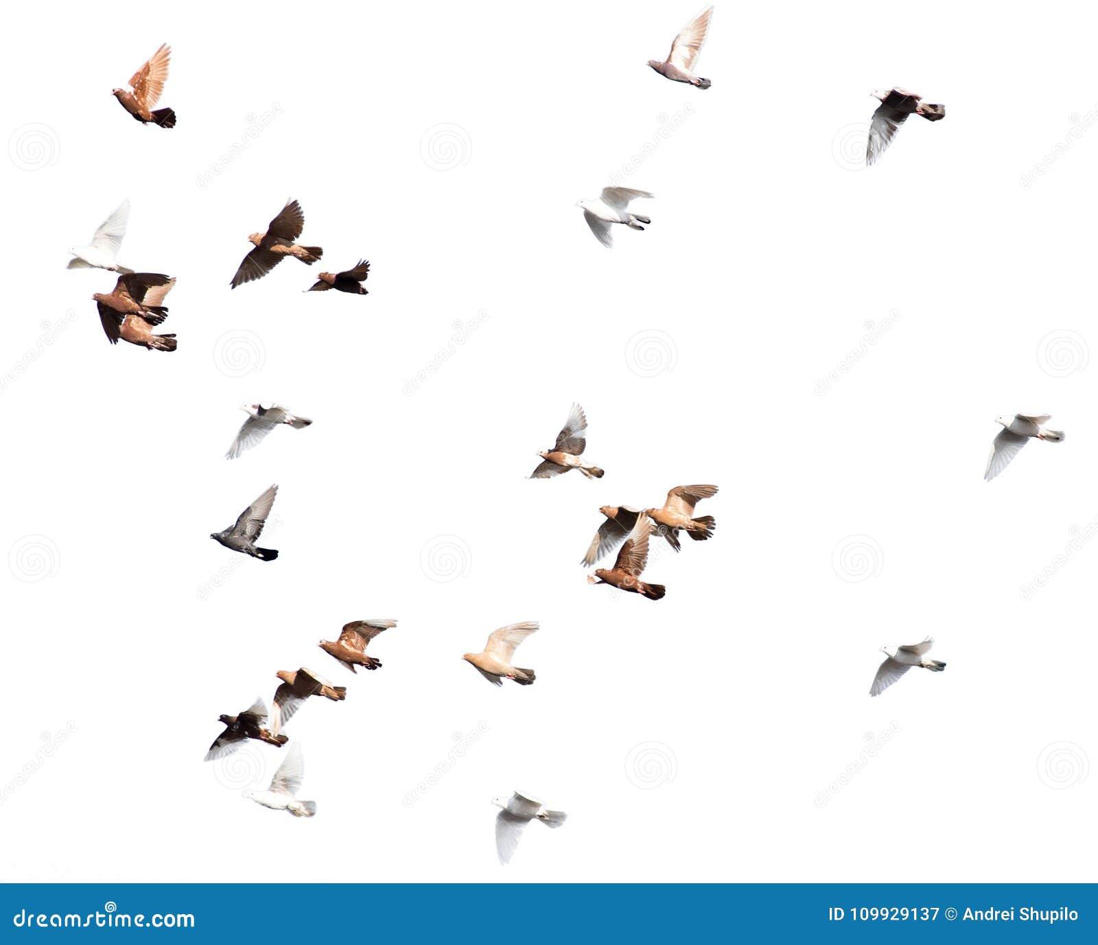 Moltitudine di piccioni su un fondo bianco