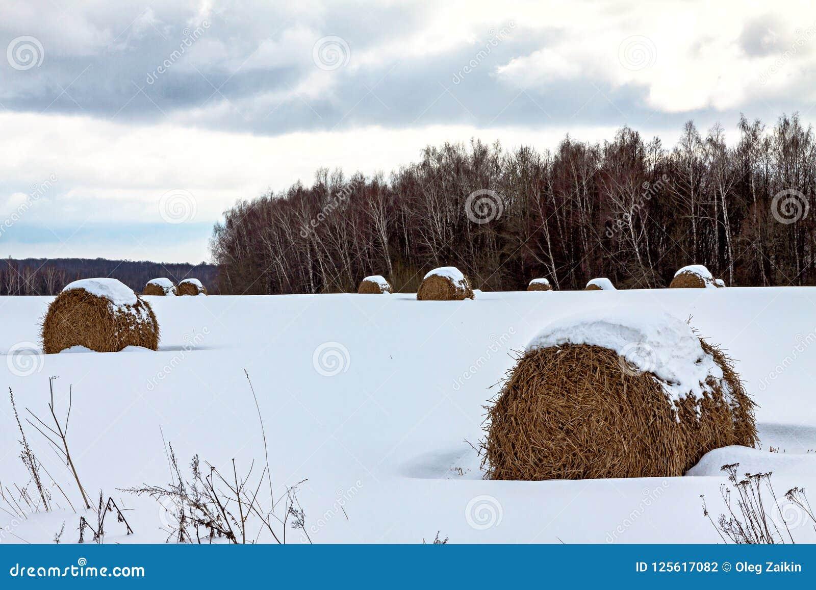Molto fieno rotondo nella foresta di inverno, trovantesi sotto la neve, un agricoltura rurale del paesaggio