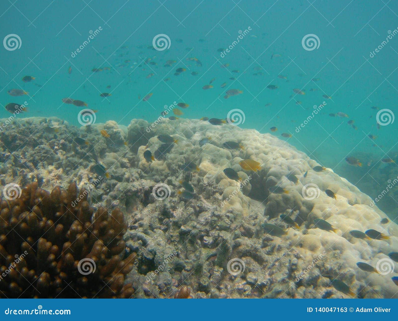 Molto piccolo pesce di mare esotico che nuota sopra la barriera corallina