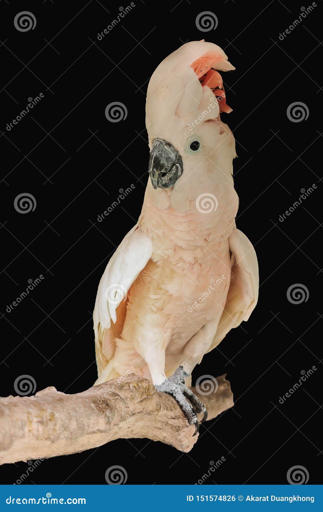 Moluccan geïsoleerde kaketoe