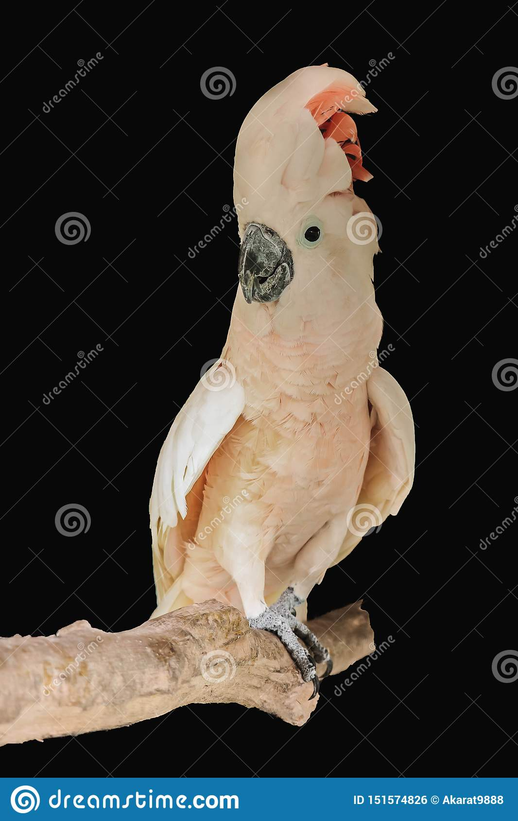 Moluccan kakadu odizolowywający