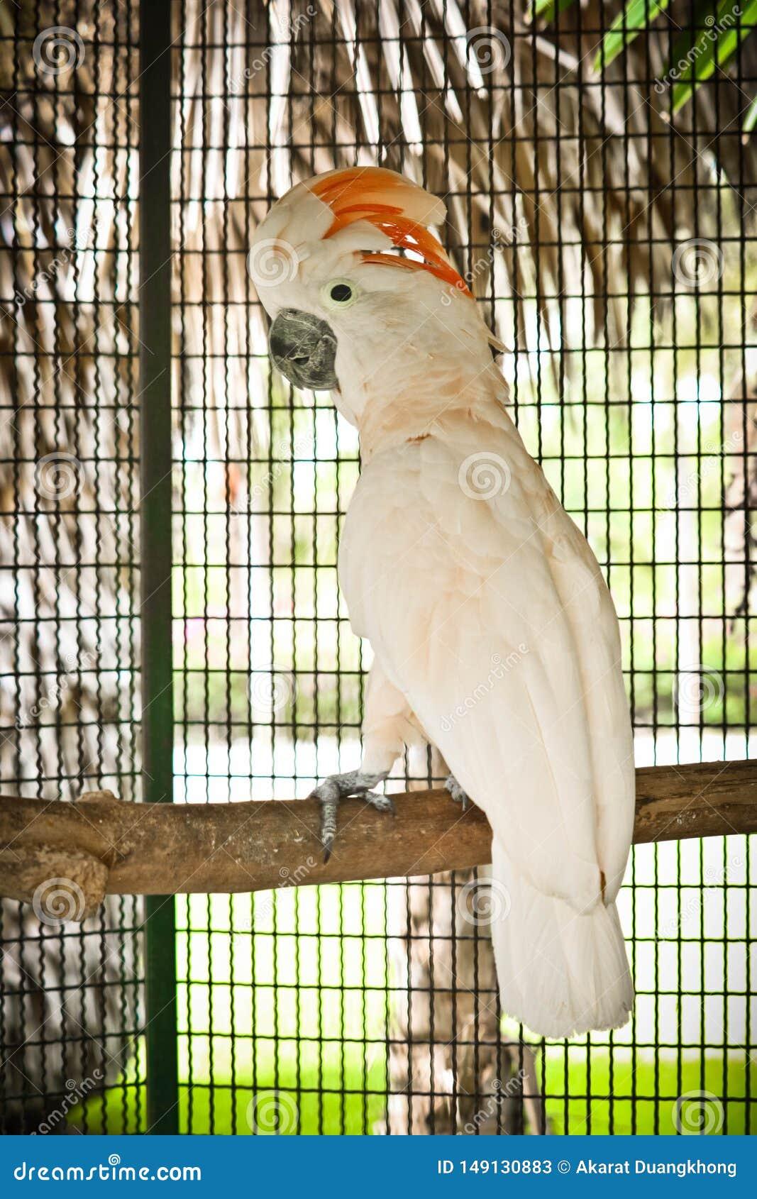 Moluccan kakadu w klatce