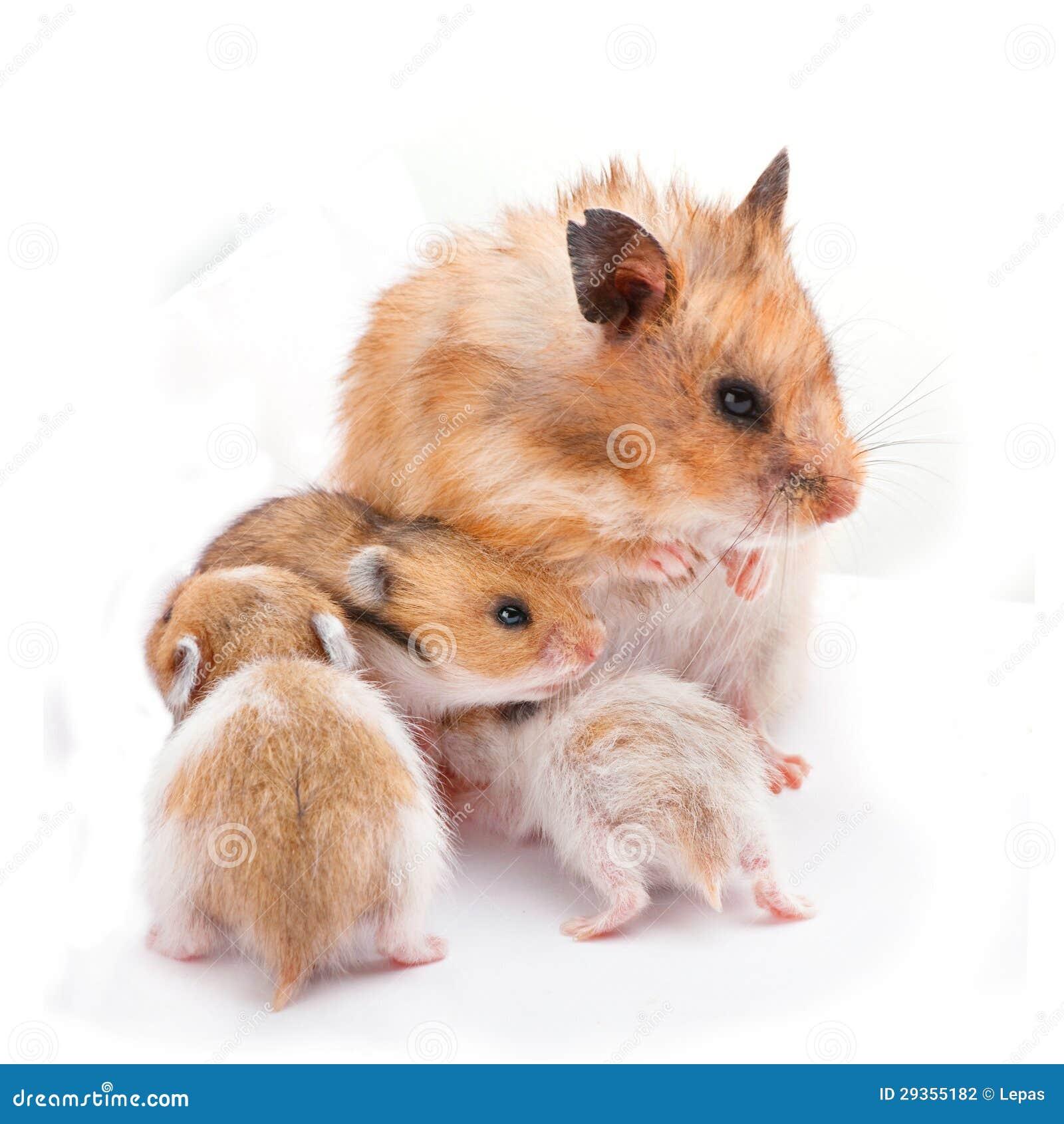 3ad14d46d37d Mom με τη χάμστερ μωρών στοκ εικόνες. εικόνα από άσπρος - 29355182