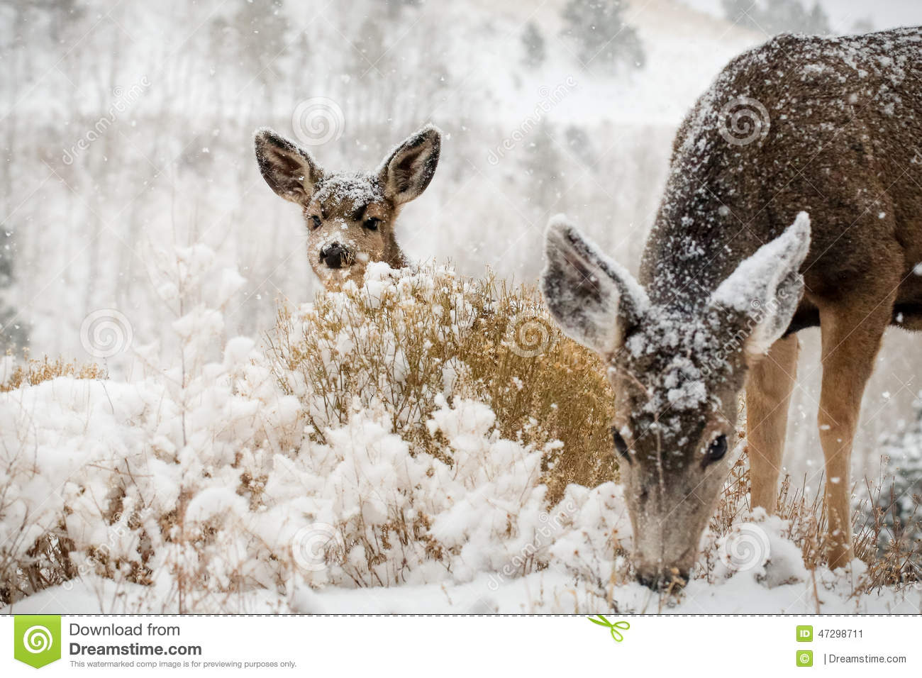 Mom And Baby Deer In Snow Scene Stock Photo Image 47298711