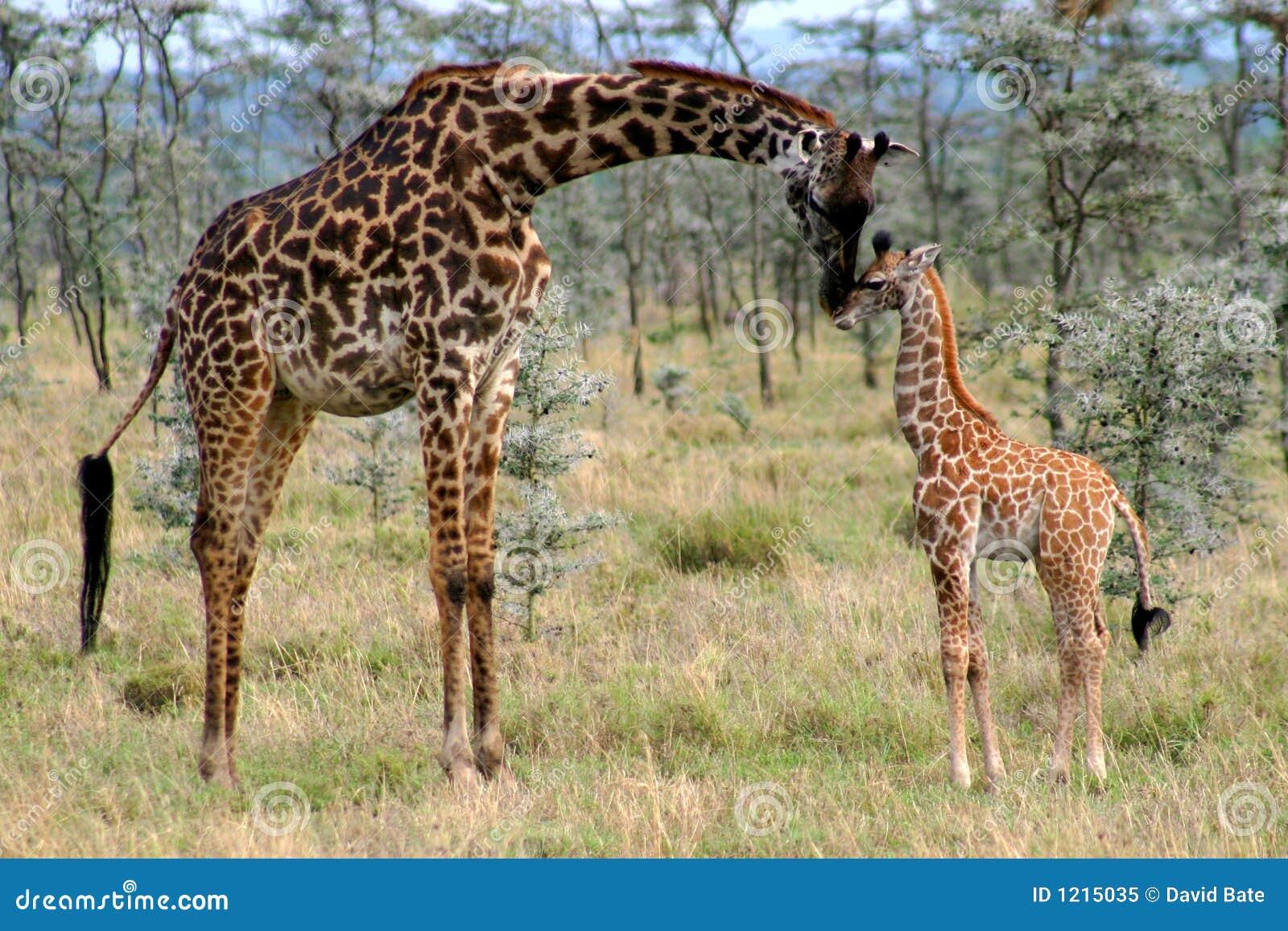 Mom And Baby Giraffe Stock Image Image Of Famly Embrace 1215035