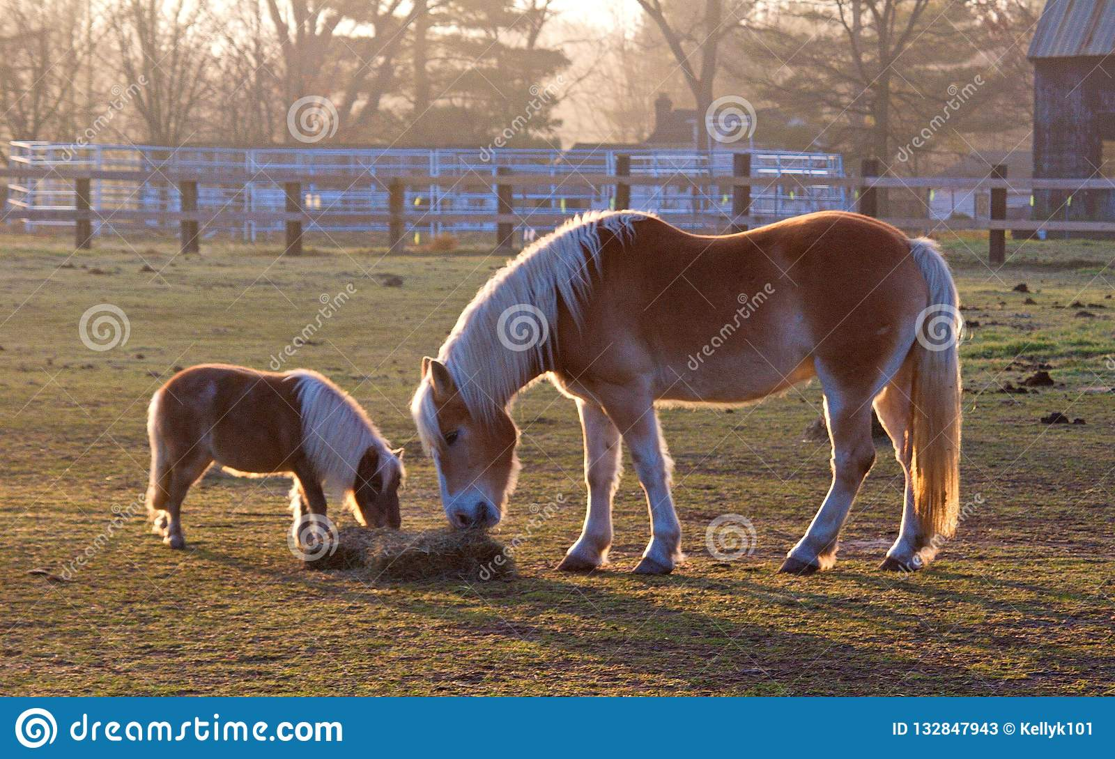 Mom And Baby Horse Eating Hay Stock Image Image Of Equine Nature 132847943