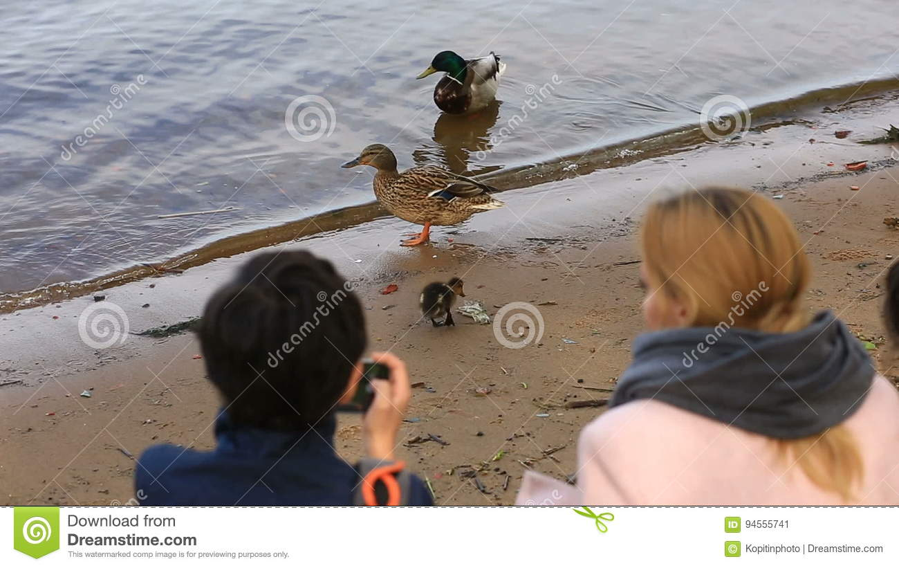 Mom And His Son Take Pictures Of A Duck With Ducklings On The Shore Of The Reservoir On A Smartphone Stock Video Video Of Land Beak 94555741
