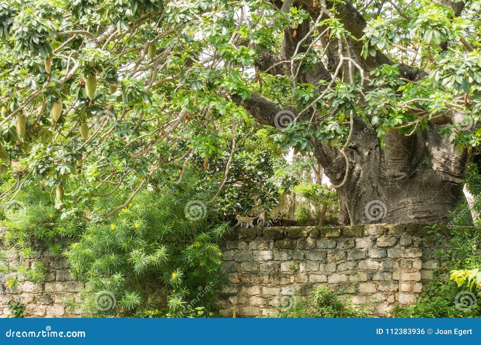 Huge Baobab tree with Vervet monkey family