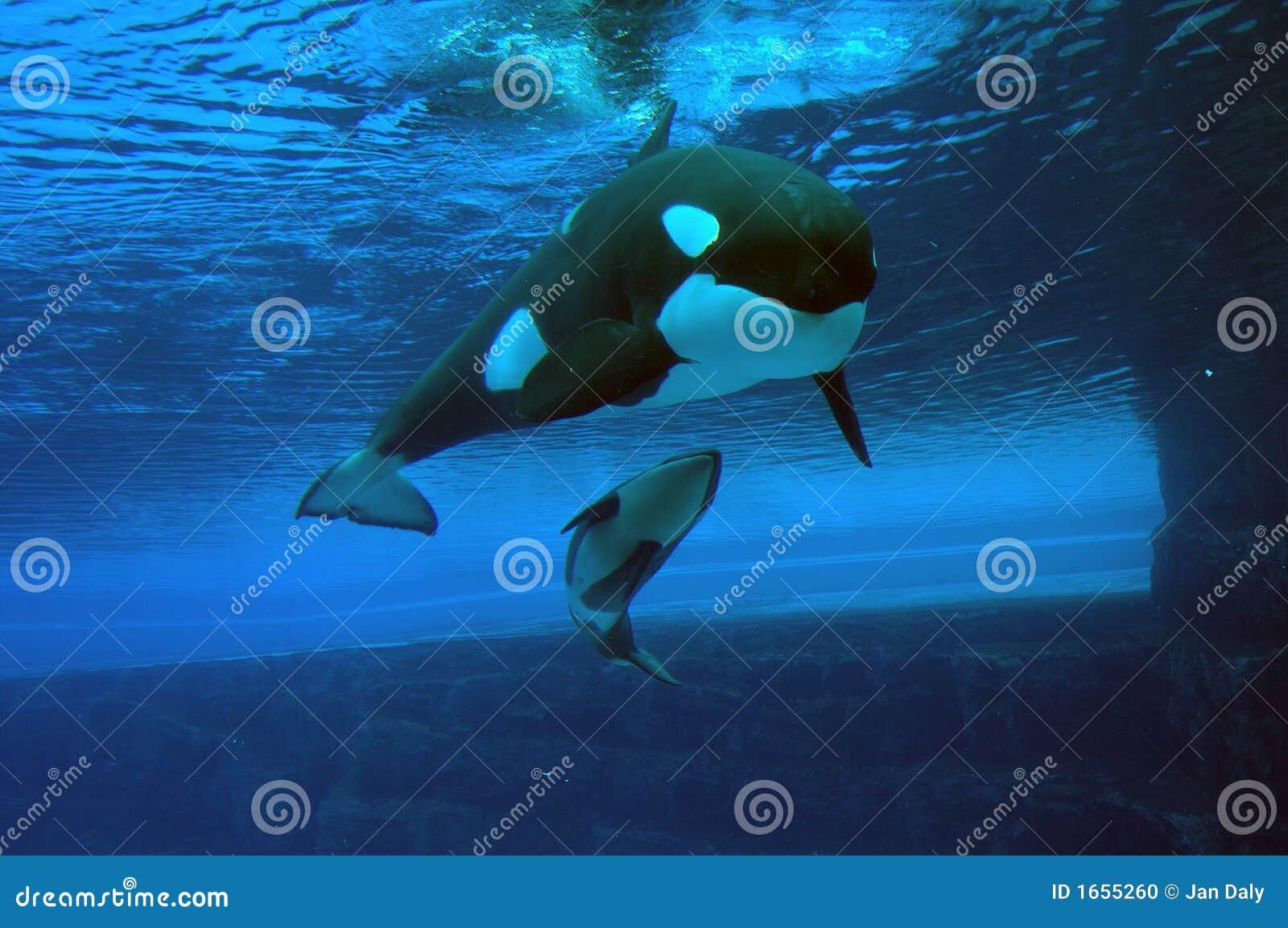 Momma e balene di assassino del bambino
