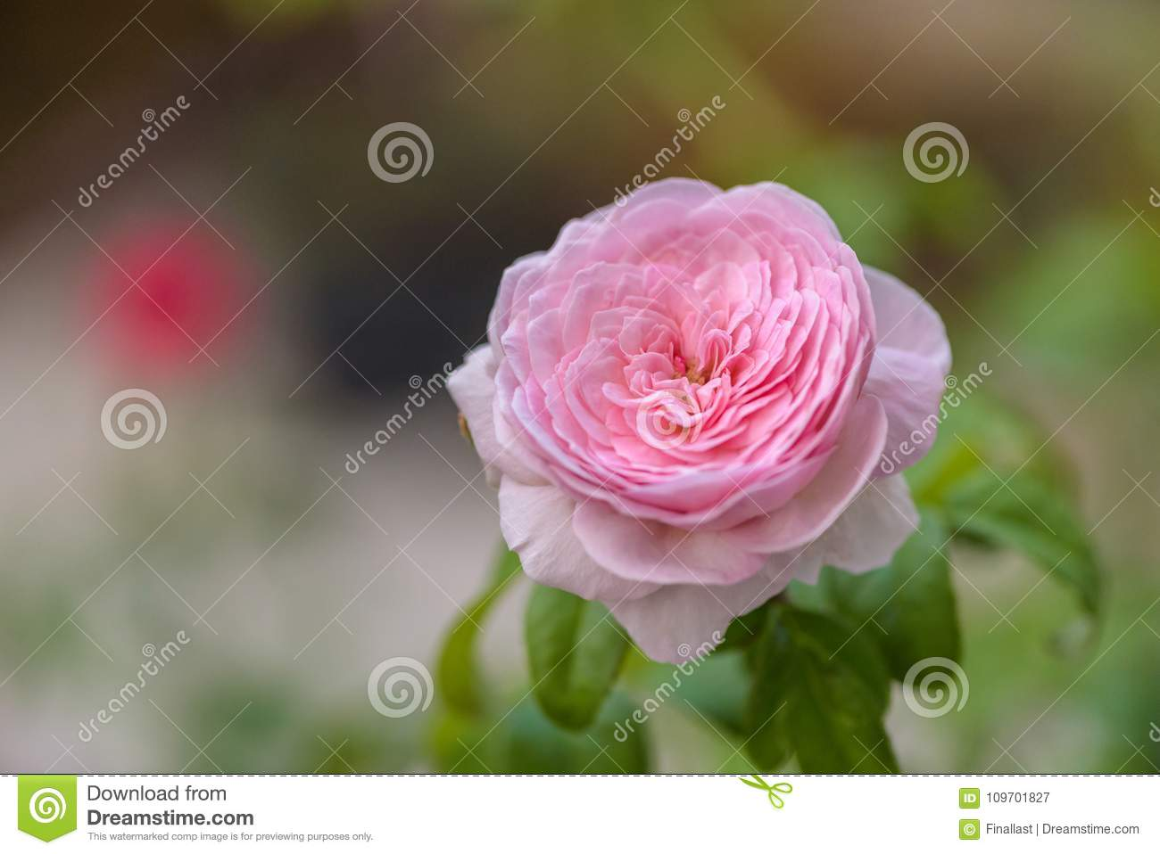 Mon Coeur Pink Japanese Rose Stock Image Image Of Blossom Heart