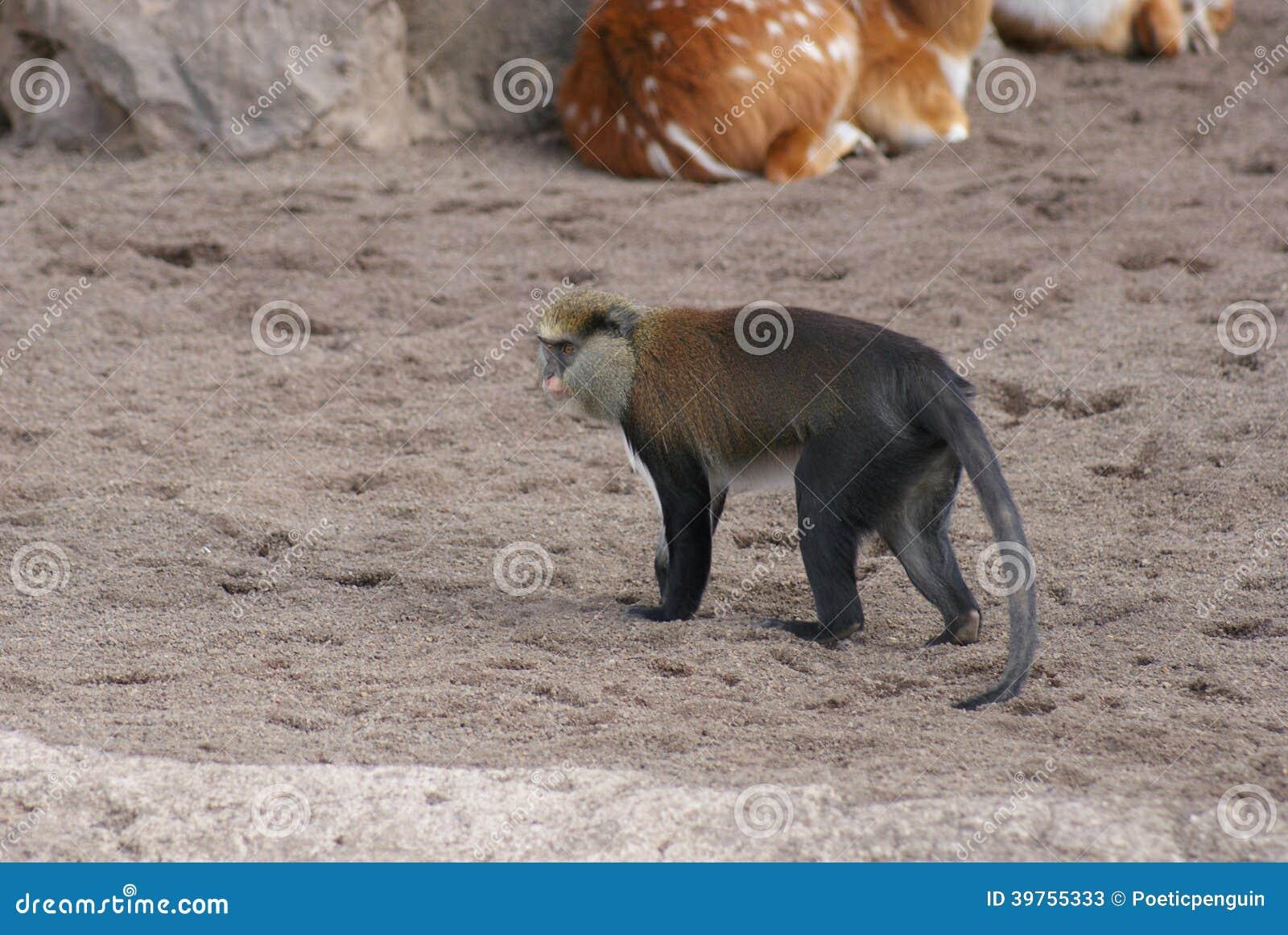 Mona małpa - Cercopithecus Mona