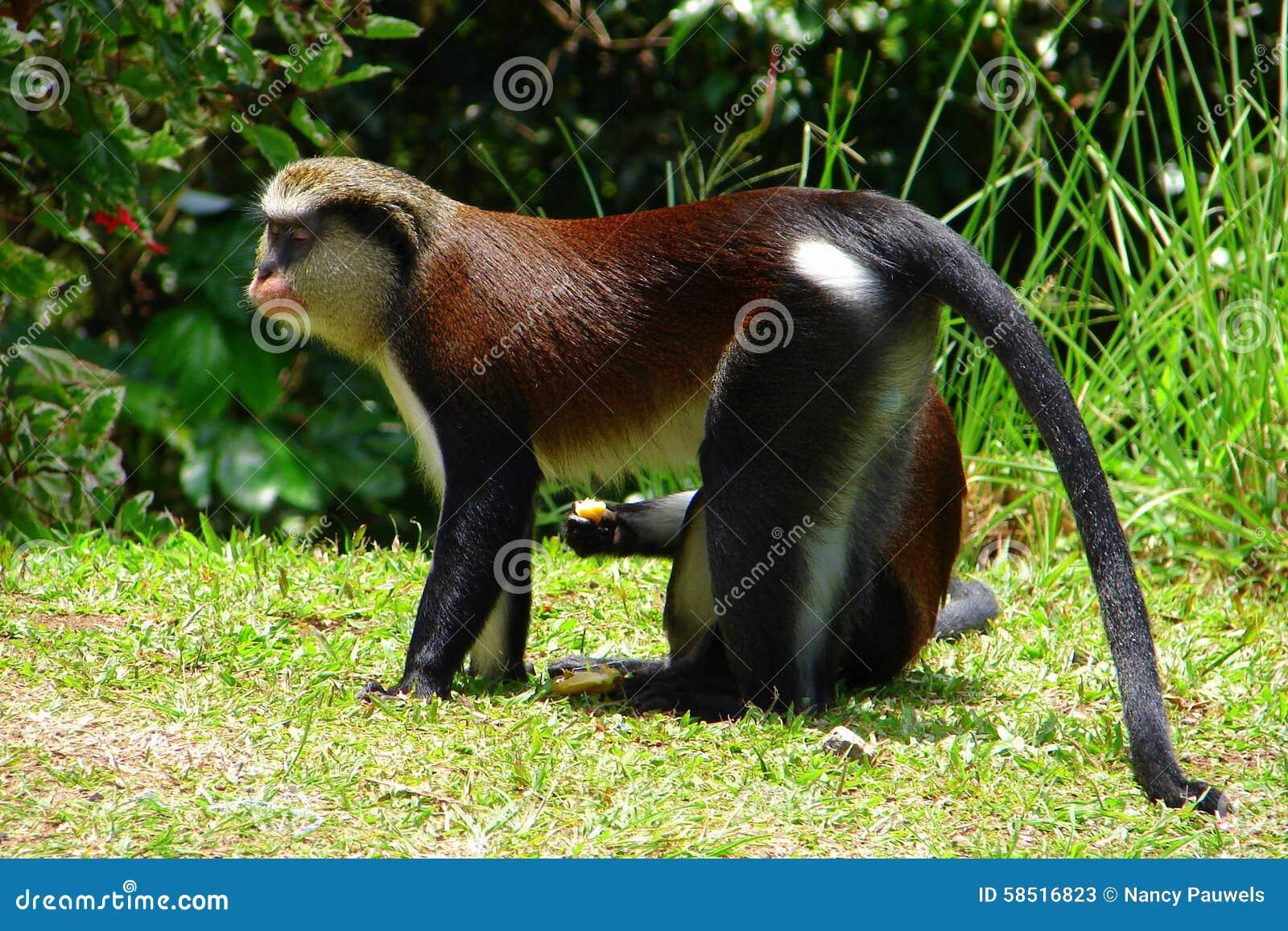 Mona Monkey on the grass.