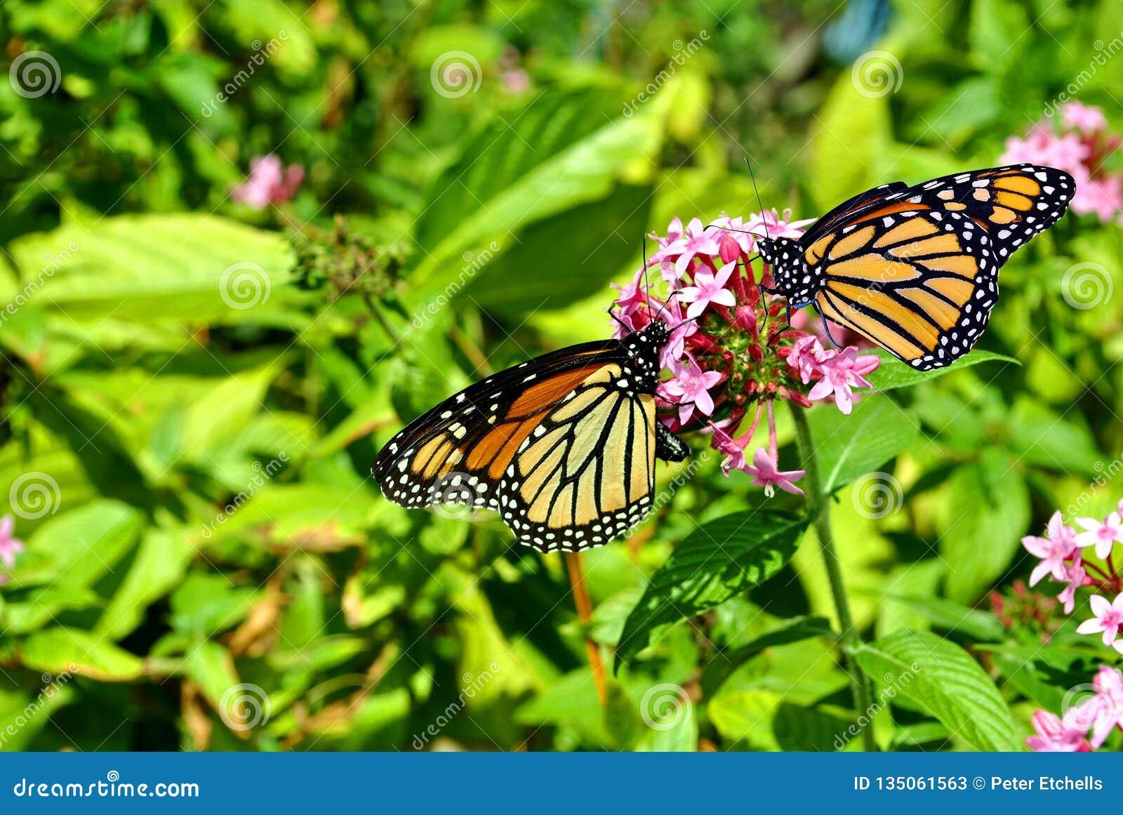 Monarca Butterfles