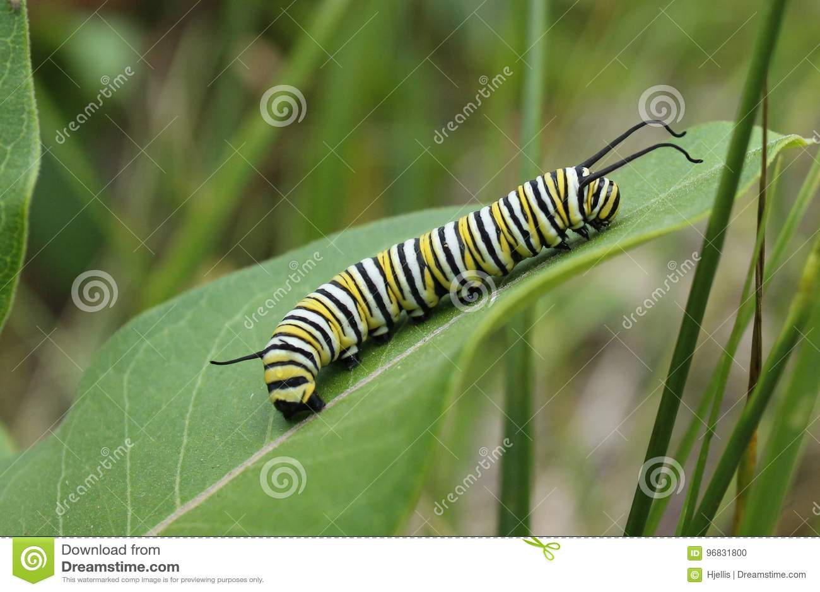 Monarca Caterpillar
