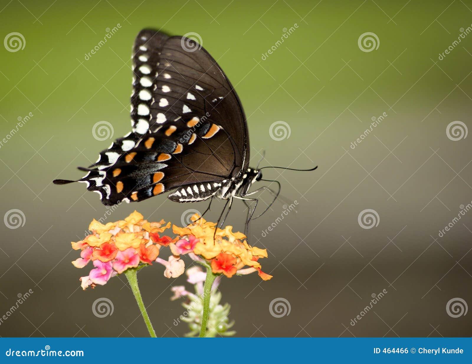 Monarca colorido