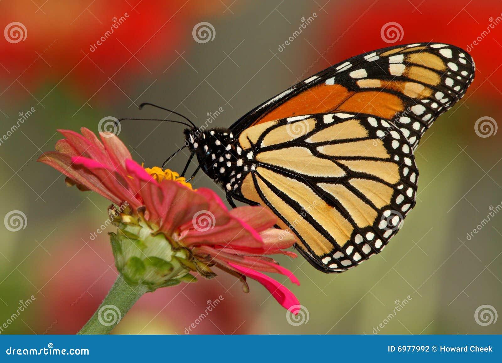 Monarca del giardino