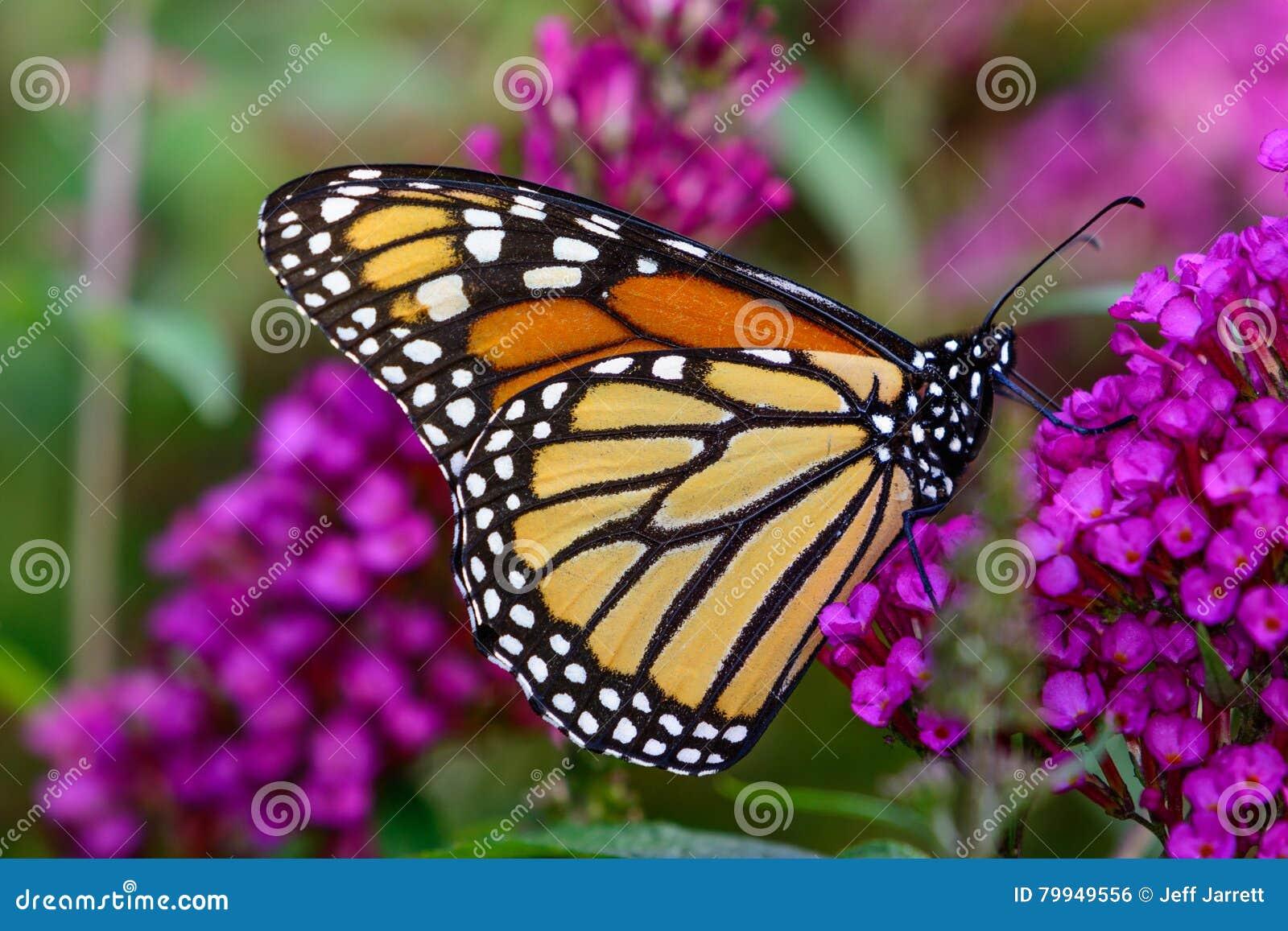 Monarca y x28; Plexippus& x29 del Danaus; néctar que sorbe del flo minúsculo de la lavanda