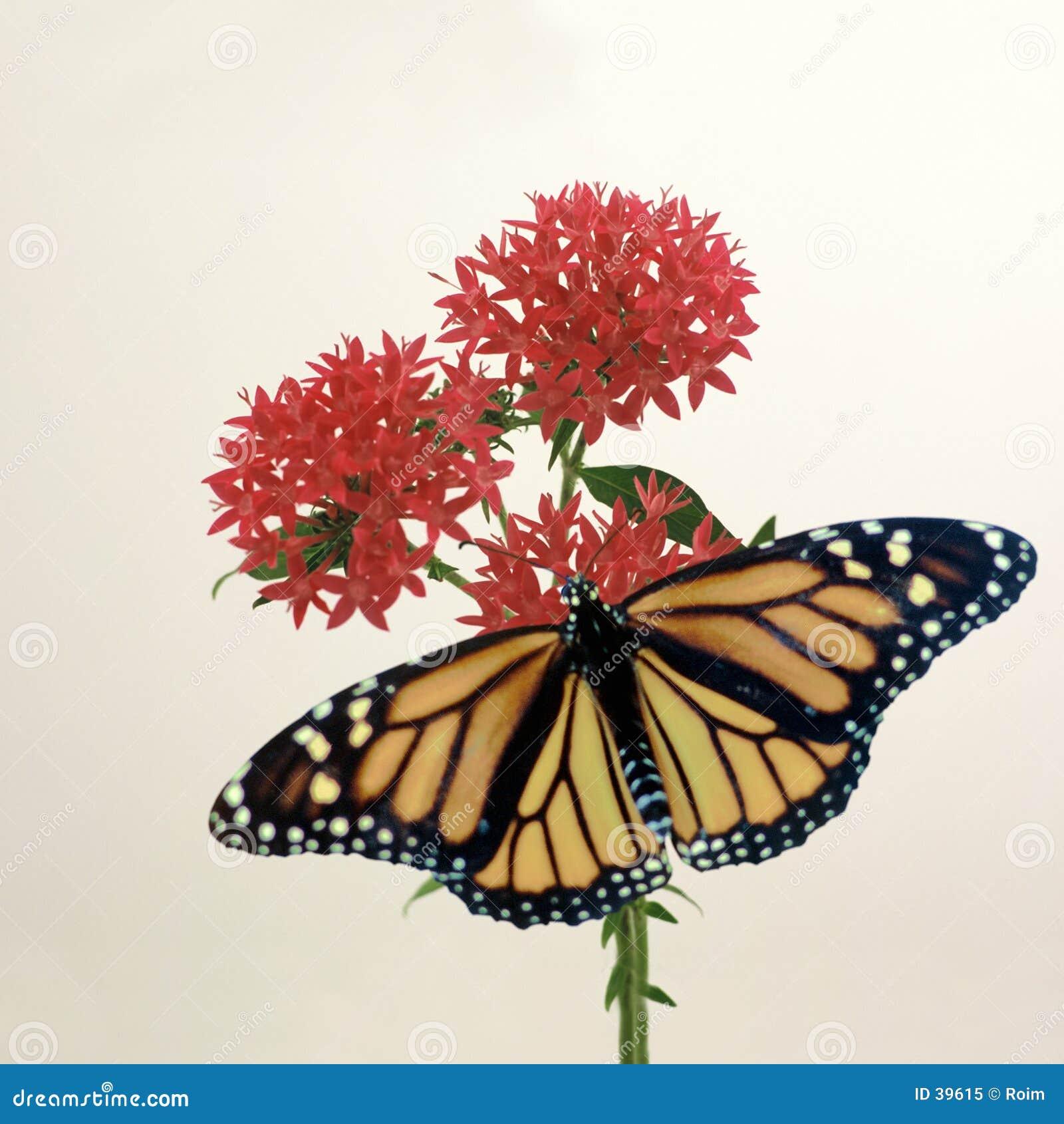 Monarch auf Penta