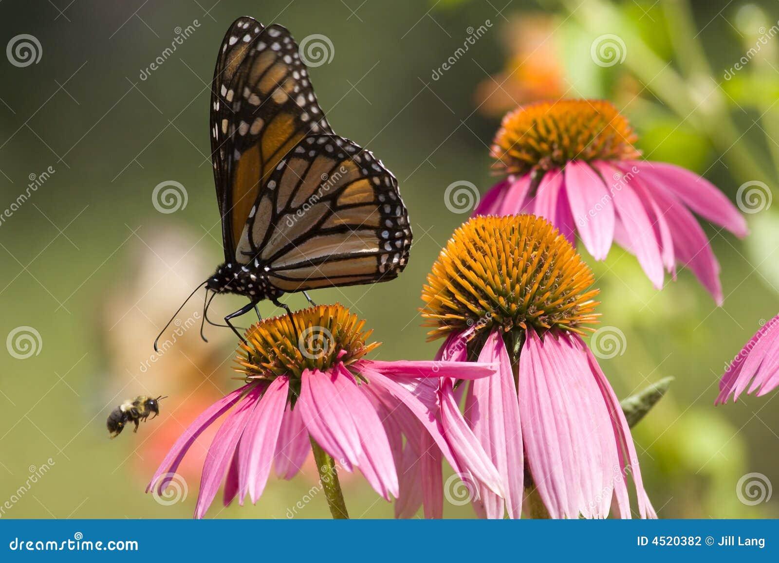 Monarch-Basisrecheneinheit und Biene