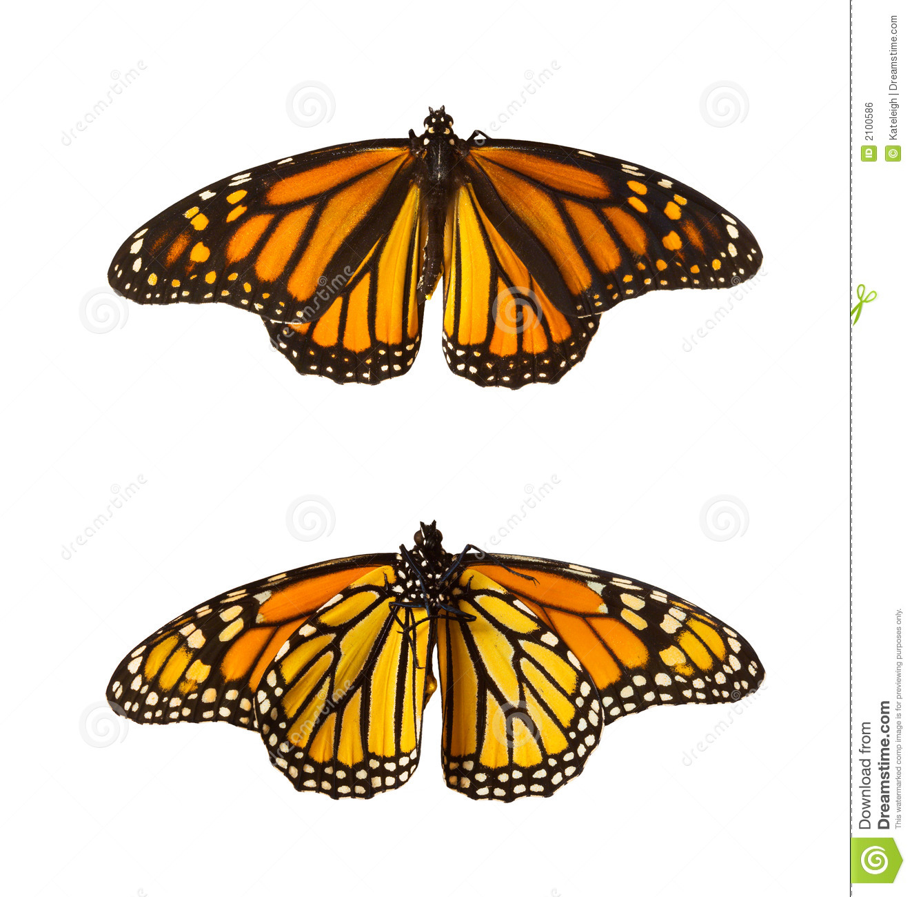 Monarch Butterflies, Isolated