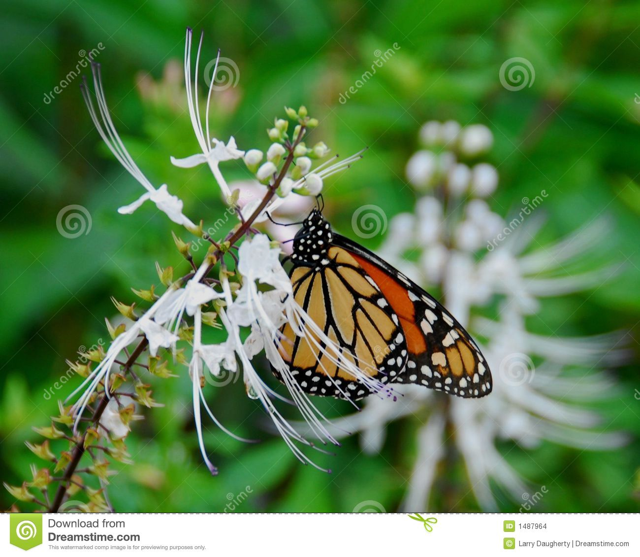 Monarch Butterfly Stock Images Image 1487964