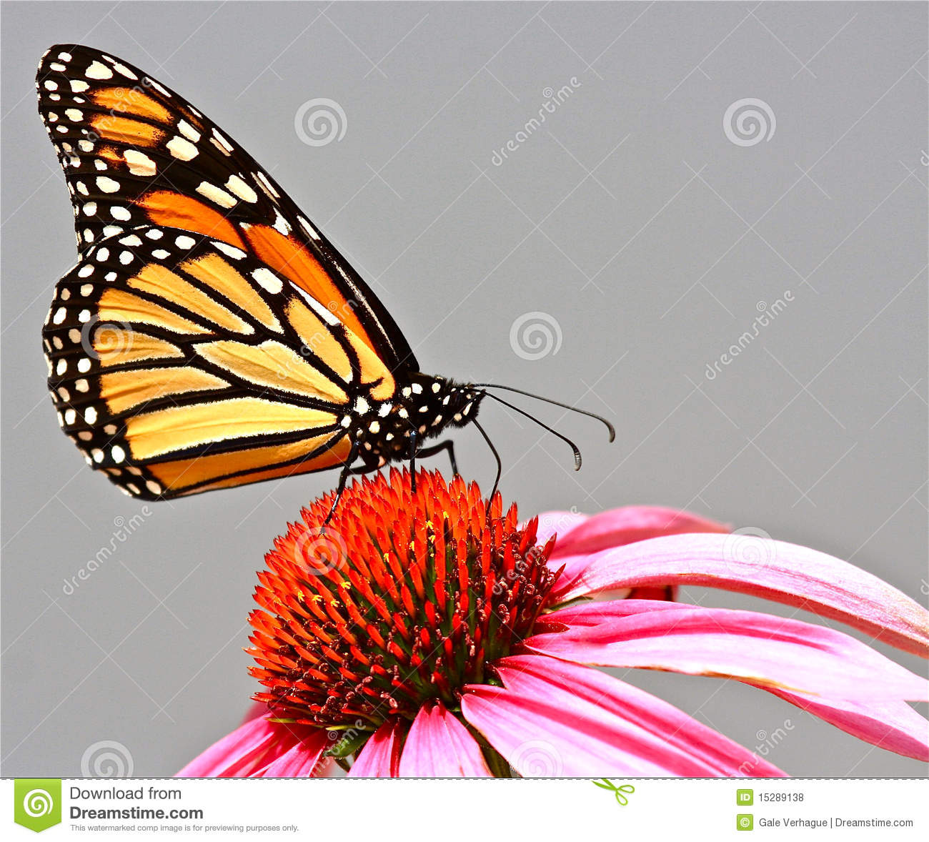 Monarch butterfly (Danaus plexippus) feeding on nectar from a purple ...
