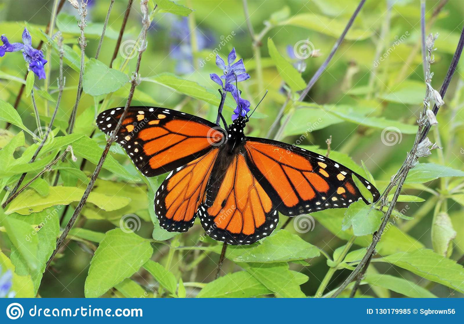 Monarch Butterfly and Blue Salvia Flowers