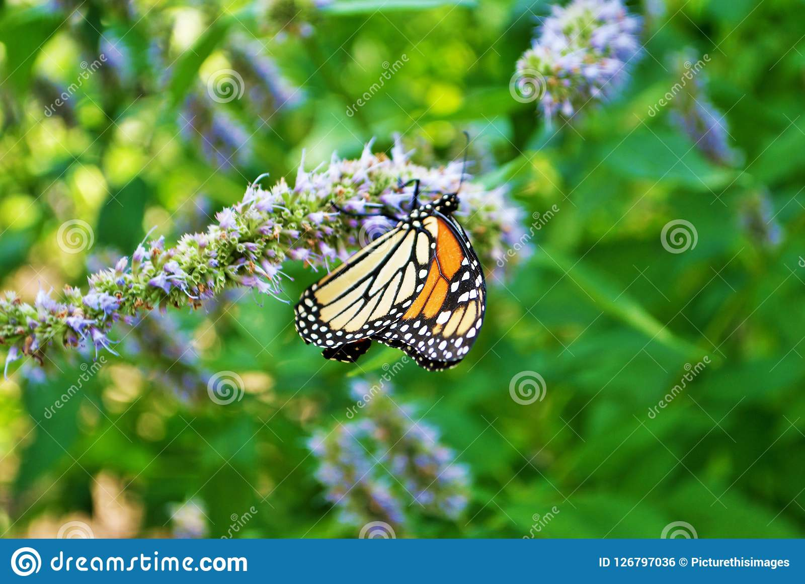 Monarch butterfly with broken wing on a blue Veronica flower