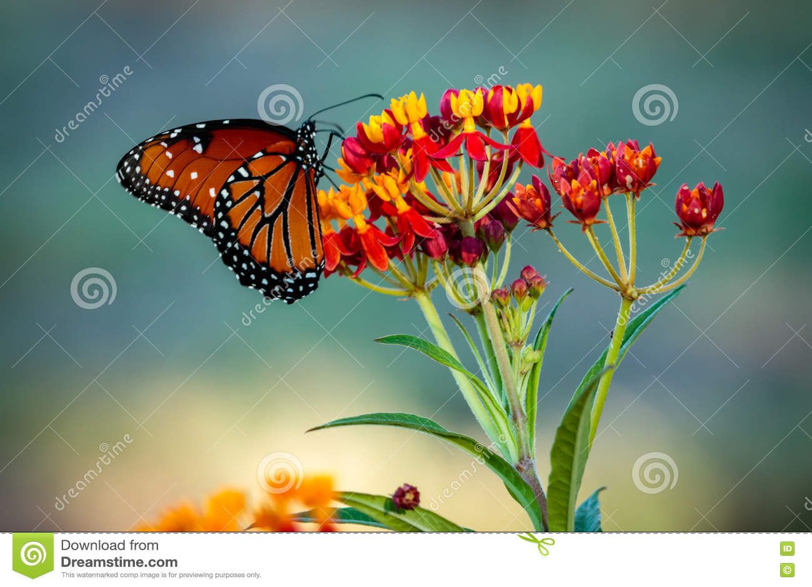 Monarch Butterfly On A Butterfly Bush Stock Photo