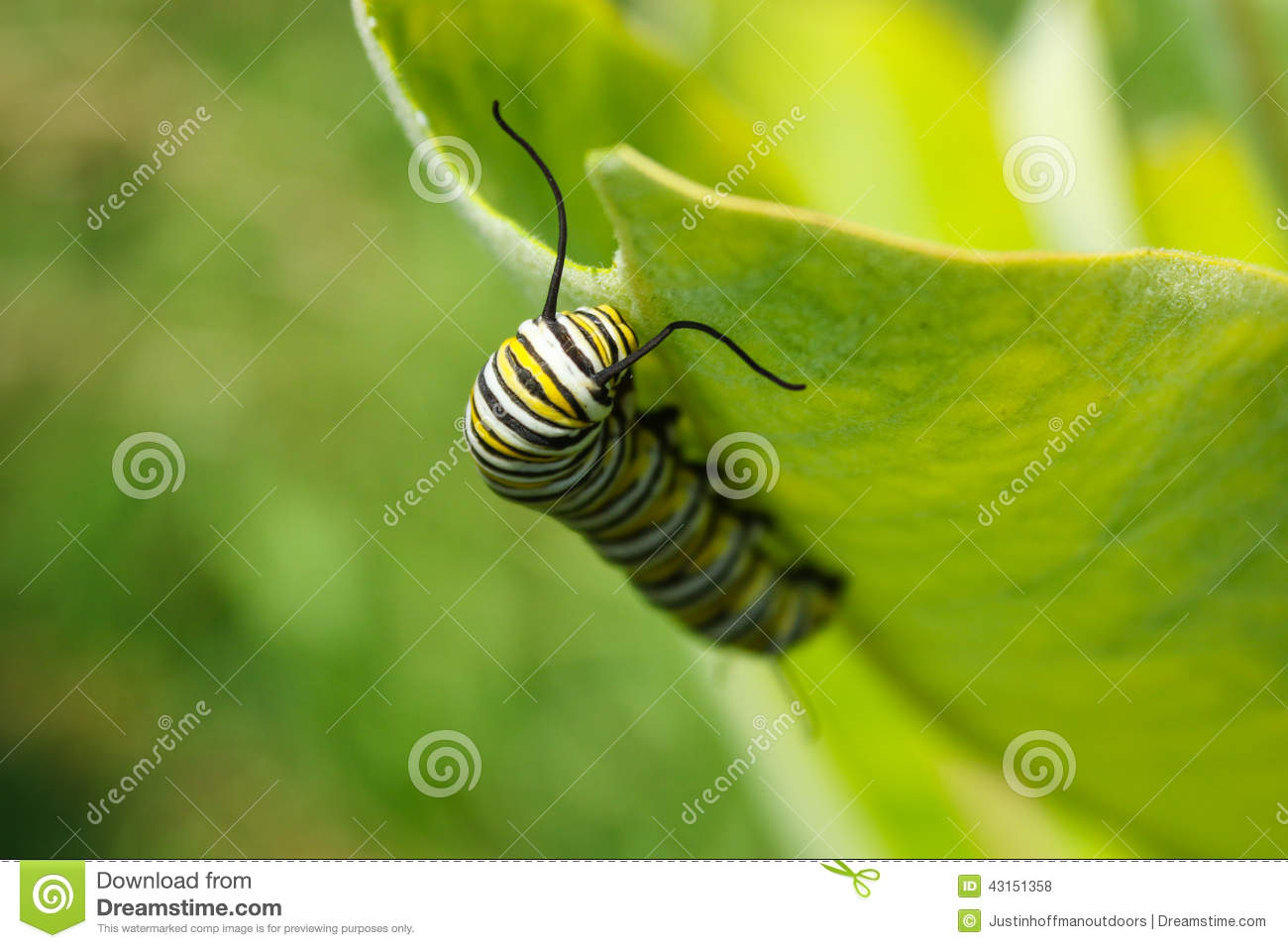 Monarch Butterfly Caterpillar Larvae